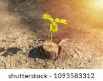 Small photo of Tamarind sapling growing on dead stump at drought area background, Tree substitution concept