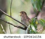thrush nightingale singing in... | Shutterstock . vector #1093616156