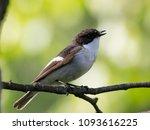 european pied flycatcher male... | Shutterstock . vector #1093616225