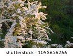 spiraea cinerea grefsheim.... | Shutterstock . vector #1093656266