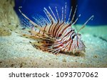 Close up on a red lionfish  ...