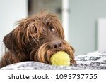 shaggy  long haired dog with... | Shutterstock . vector #1093737755