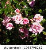 beautiful  heritage rosa... | Shutterstock . vector #1093798262
