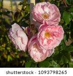 beautiful  heritage rosa... | Shutterstock . vector #1093798265