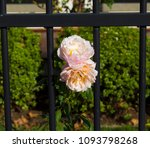 beautiful  heritage rosa... | Shutterstock . vector #1093798268