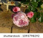 beautiful  heritage rosa... | Shutterstock . vector #1093798292