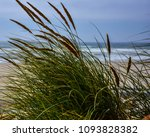 Cattail Grass At The Coast