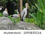 the milky stork  mycteria... | Shutterstock . vector #1093835216