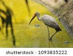 the milky stork  mycteria... | Shutterstock . vector #1093835222