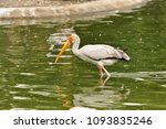 the milky stork  mycteria... | Shutterstock . vector #1093835246