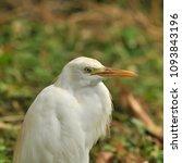the great egret  ardea alba  | Shutterstock . vector #1093843196