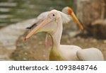 the great white pelican ... | Shutterstock . vector #1093848746