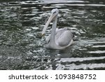 the great white pelican ... | Shutterstock . vector #1093848752