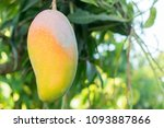ripe mangoes on tree. bunch of... | Shutterstock . vector #1093887866