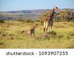 a mother giraffe   giraffa... | Shutterstock . vector #1093907255