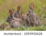 Stock photo a group of four small brown wild rabbits huddle together in a farmers field in auckland new zealand 1093933628