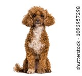 poodle dog sitting and looking... | Shutterstock . vector #1093957298
