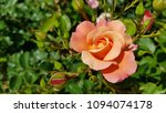 Beautiful Rose Flower With...