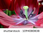 Red Tulip Flowerbeautiful Red Tulip - Fine Art prints