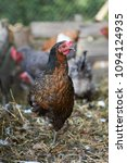 free range chickens in field | Shutterstock . vector #1094124935