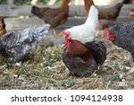 free range chickens in field | Shutterstock . vector #1094124938