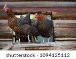 free range chickens in field   Shutterstock . vector #1094125112