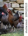 free range chickens in field   Shutterstock . vector #1094125115