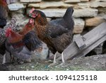 free range chickens in field   Shutterstock . vector #1094125118