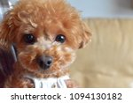 Brown Toy Poodle.