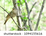 thrush nightingale  bird. | Shutterstock . vector #1094155616