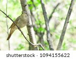 thrush nightingale  bird. | Shutterstock . vector #1094155622