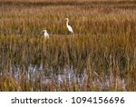 A marsh in South Carolina near Myrtle Beach with two Great Egrets standing in the high grass looking for food.