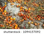 lots of tomatoes are expired... | Shutterstock . vector #1094157092