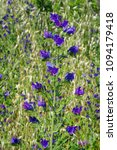echium plantagineum  the purple ... | Shutterstock . vector #1094179418