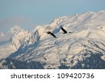 Two Bald Eagles Soar In The...