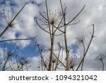 dry branches of a hogweed on a... | Shutterstock . vector #1094321042