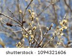 willow branches in the spring... | Shutterstock . vector #1094321606