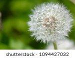 dandelion in garden   Shutterstock . vector #1094427032