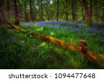 Bluebells And A Fallen Tree...