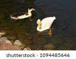 white duck. young white ducks... | Shutterstock . vector #1094485646