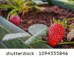 strawberry fruit on the plant... | Shutterstock . vector #1094555846