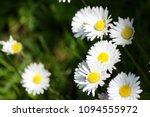marguerite in the sun   Shutterstock . vector #1094555972
