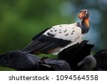 king vulture  sarcoramphus papa ... | Shutterstock . vector #1094564558