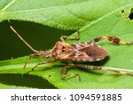 Western Conifer Seed Bug ...