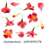 Alstroemeria Lily Red Flower Isolated - Fine Art prints