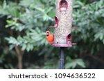 Small photo of Cardinal Bird at Sunset Cardinalis Cardinalidae