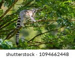 Ring Tailed Lemur   Lemur Catt...