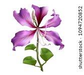 pink bauhinia purpurea isolated ... | Shutterstock .eps vector #1094720852