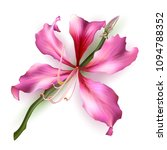 pink bauhinia purpurea isolated ... | Shutterstock .eps vector #1094788352