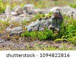 iguana in it's natural habitat. ... | Shutterstock . vector #1094822816